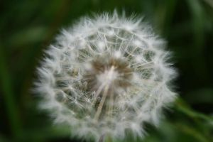Dandelion Art 2 by Cia81