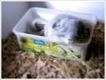 Chinchilla baby by AliceYung