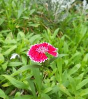 A pink flower by 490skip