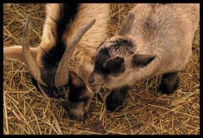 goat eating a goat eating by fraserw2