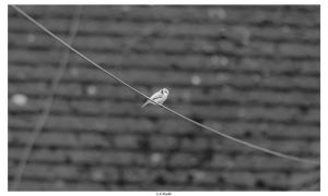 Day 230 - Bird On The Wire by TakeMeToAnotherPlace