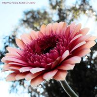 Gorgeous Gerbera 2 by Cattereia