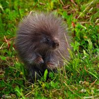 Porcupine by Occamsrasr