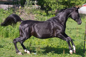 Black arabian jumping into gallop 4 white socks by slime-stock