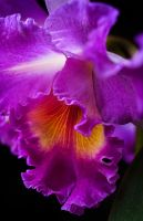 Macro Cattleya Purple Orchid by braxtonds
