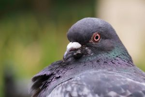 Pigeon Portrait by Once-Around-the-Sun