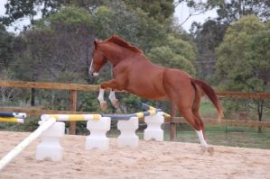 ASH Showjumping 2 no tack by Chunga-Stock