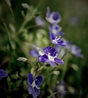 Blue flowers by marius-s