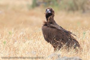 The Black vulture by javierherrera86