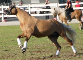 Palomino, galloping - Stock by hh-harley