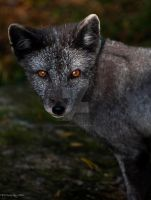 Arctic Fox by PictureByPali