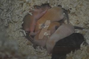 Baby gerbils 9 days old by Spiremagus-Esquire