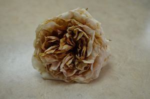 Faded Rose by RachgracehStock
