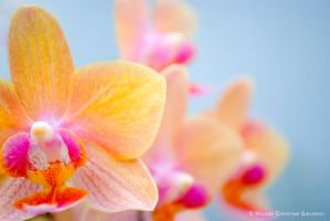 Orchid by malsev