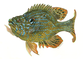 Lepomis/Sunfish by Rowkey