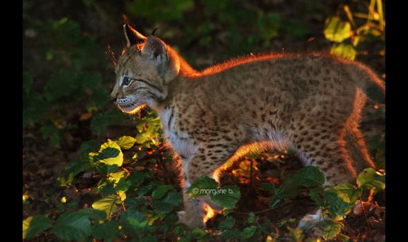 Lynx IV by moem-photography