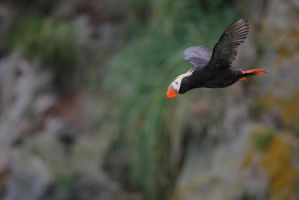 puffins : the pacific way... by phalalcrocorax