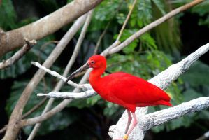 Scarlet Ibis by sweatangel
