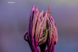 Pink and Purple Capture by IgorKal