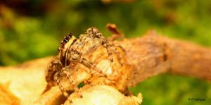 jumping spider 4 by Prototyps