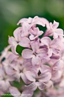 Lilacs 001 by tennyomelime