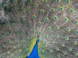 Peacock 3 by photohouse