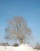 Snow tree by migartSTOCK