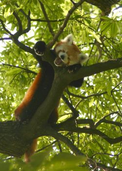 Red Panda by ShareLife