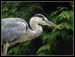 Grey Beauty by kanes