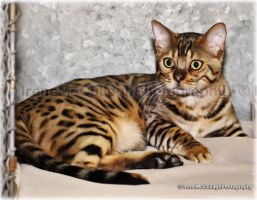 Wide-eyed Bengal by substar