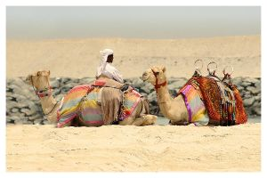 Camels by Crash1-TK