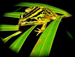 Bullet Frog 2 by ywsdavey