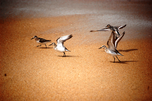 Sandpipers - Becasseaux by JinDArabborr