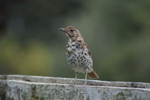 Thrush On Fence by idyle
