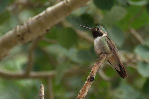 Black-Chinned Hummingbird in a Tree by amzimme