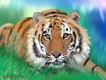 Tiger -digital painting- by eyeqandy