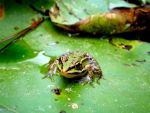 little frog by Fabharty