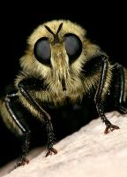 Bee hunter robber fly by segraser