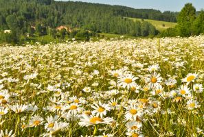 Field of daisies by Tumana-stock