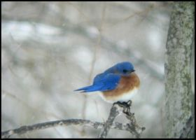 Male Eastern Bluebird IV by StormPetral0509
