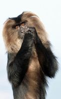 Lion-tailed Macaque (I) by Night-Sam