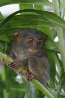 Philippine Tarsier 01 by angelynne