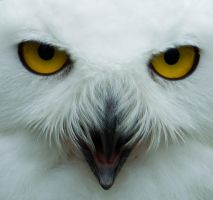 Snowy Owl by CptCapricious