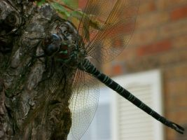 dragonfly 1 by TheOnlySarah