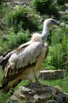 vulture XIV by mimose-stock