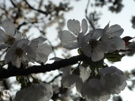Blossoming Cherry Tree by II-S