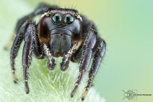 Jumping Spider - Thiodina puerpera by ColinHuttonPhoto