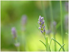 the beauty oF laVender by thestargazer23