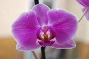 Pink Orchid by GrnDrgn
