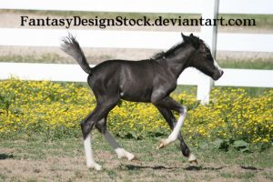 Foal - Abe 11 by FantasyDesignStock